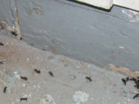 carpenter-ants-hidden-defects