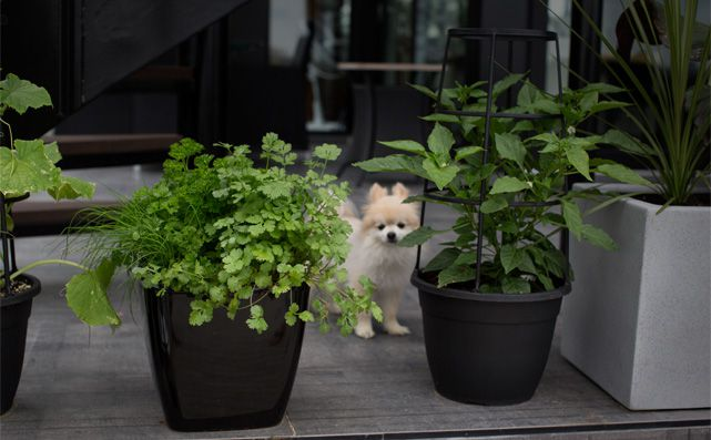 Potted_plants_herbs-chihuahua