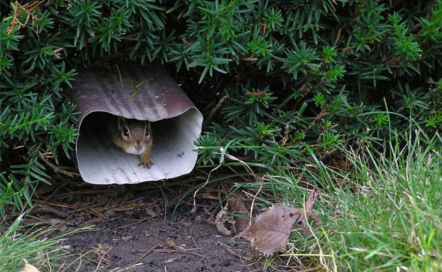 Chipmunk-inside-gutter-downspout
