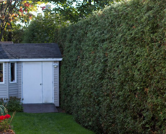 Cedar Hedge When And How To Trim